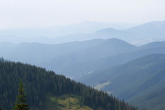 Spruce forest in the Ukrainian Carpathians. Sustainable clear ecosystem Royalty Free Stock Photos