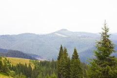 Spruce forest in the Ukrainian Carpathians. Sustainable clear ecosystem. Many peaks royalty free stock photo