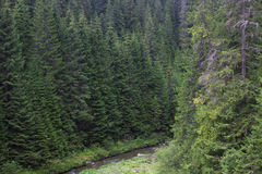 Spruce forest in the Ukrainian Carpathians. Sustainable clear ecosystem. Mountain lake stock photos