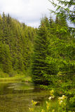 Spruce forest in the Ukrainian Carpathians. Sustainable clear ecosystem. Mountain lake royalty free stock photo