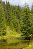 Spruce forest in the Ukrainian Carpathians. Sustainable clear ecosystem. Mountain lake stock image
