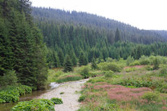 Spruce forest in the Ukrainian Carpathians. Sustainable clear ecosystem. Mountain river stock photography