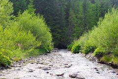 Spruce forest in the Ukrainian Carpathians. Sustainable clear ecosystem. Mountain river stock photo