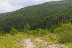 Spruce forest in the Ukrainian Carpathians. Sustainable clear ecosystem. Mountain road royalty free stock images