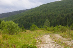 Spruce forest in the Ukrainian Carpathians. Sustainable clear ecosystem. Mountain road royalty free stock photos