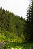 Spruce forest in the Ukrainian Carpathians. Sustainable clear ecosystem. Mountain road stock photos