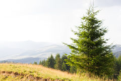 Spruce forest in the Ukrainian Carpathians. Sustainable clear ecosystem. Mountain valley stock images