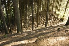Spruce forest Royalty Free Stock Photos
