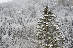 Spruce forest in winter. Spruce (fir) forest covered with fluffy snow with one outstanding spruce tree. Engelberg, close to Titlis mountain, canton Obwalden Royalty Free Stock Images