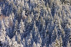 Spruce forest in winter Stock Images