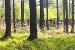 The spruce forest with the wooden fence Stock Photo