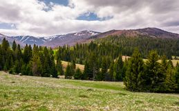 Spruce forests on grassy slopes in springtime. Beautiful landscape of Carpathian mountain on overcast day. Location - valley of Pylypets village Stock Photography