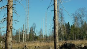 Spruce forests infested and attacked by the European spruce bark beetle pest Ips typographus, clear cut calamity caused