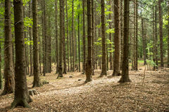 A spruce forrest. A piece of spruce forrest in Little Carpathians / Slovakia stock photo