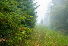 Spruce forrest after rain. Spruce forest after rain in fog Stock Photography