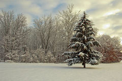 Spruce after fresh snow. Fall in Michigan Royalty Free Stock Images