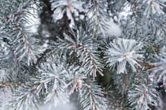Spruce in frost. Branches of spruce in frost in winter Royalty Free Stock Photos