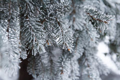 Spruce in frost. Branches of spruce in frost in winter Stock Photo