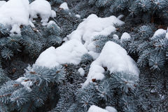 Spruce in frost. Branches of spruce in frost in winter Stock Image
