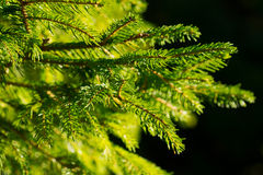 Spruce. Green spruce bough on a dark background Stock Photo