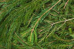 Spruce green branches Stock Photo