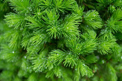 Spruce. Green spruce with drops of water in the garden Stock Images