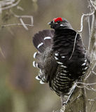 Spruce Grouse Royalty Free Stock Photo