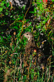 Spruce Grouse Royalty Free Stock Photography
