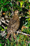 Spruce Grouse Royalty Free Stock Image
