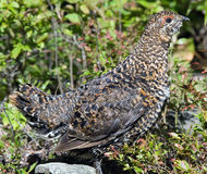 Spruce Grouse Royalty Free Stock Images