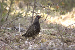 Spruce Grouse Bird. A Spruce Grouse Bird standing on the ground Royalty Free Stock Images