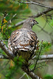 Spruce Grouse  (Falcipennis canadensis) Royalty Free Stock Image