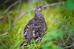 Spruce Grouse  (Falcipennis canadensis) Stock Photos