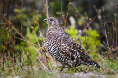 Spruce Grouse  (Falcipennis canadensis) Royalty Free Stock Photo
