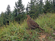 Spruce grouse. Stock Image