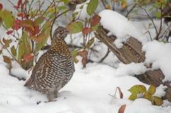 Spruce grouse (female) Stock Photography