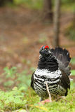Spruce Grouse Male Stock Photography