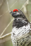 Spruce Grouse Male. A male spruce grouse rests in the branches of a tree, in Algonquin Provincial Park, Ontario Canada royalty free stock image