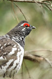 Spruce Grouse Male Royalty Free Stock Photography