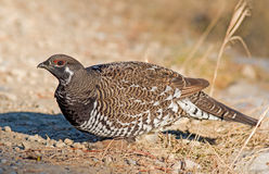 Spruce Grouse - male Stock Photo