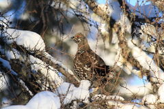 Spruce grouse perched in a tamarack. A spruce grouse peeks out from its hiding place in a tamarack tree Stock Images