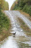 Spruce Grouse puddle hill Stock Photo