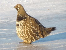 Spruce grouse Royalty Free Stock Photos
