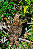 Spruce Grouse Stock Images