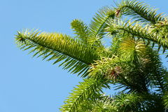 Spruce. Grows against the sky Stock Photo