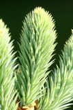 Spruce growth. In spring time stock photos