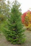 spruce Guld- höst Royaltyfria Bilder