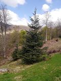 Spruce on hillside. Pleasant view of spruce tree on hillside on a clear day in early spring stock photo
