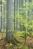 Spruce and hornbeam tree. In autumnal forest Royalty Free Stock Photos