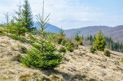 Spruce i bergen Fotografering för Bildbyråer